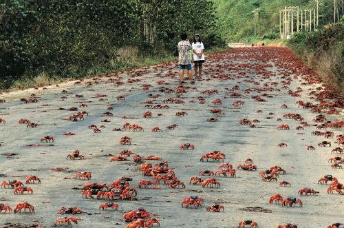Australia: la miracolosa invasione dei granchi rossi sull'Isola di Natale è vissuta in modo incredibile dagli abitanti del posto