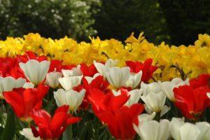 Tulipanomania-Sigurtà